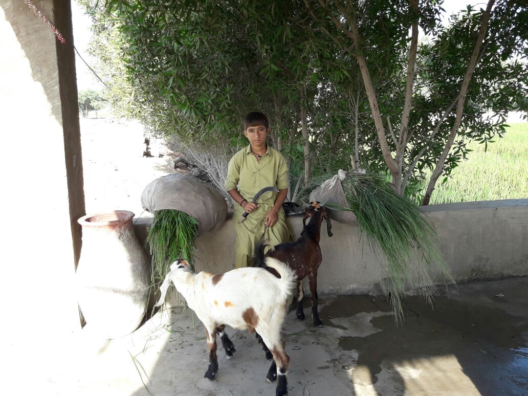 A shepherd boy takes a rest after chopping grass for his goats